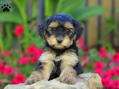 Yorkie Mix Puppies For Sale In PA