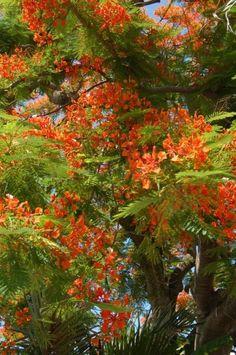 Royal Poinciana Tree (Delonix regia) Central America