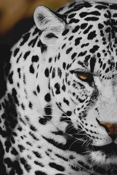 Snow leopard black and white animals eyes outdoors nature cats wild