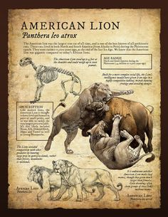 The American lion (Panthera leo atrox) of the Pleistocene. Prehistoric Creatures, Mythical Creatures, Short Faced Bear, American Lion, Extinct Animals, Animal Facts, Prehistory, History Museum, Natural History