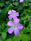 Geranium maculatum (Spotted geranium) | NPIN