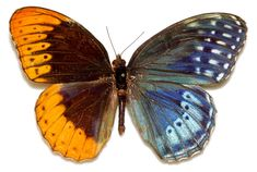 Gynandromorphism by Kim Davis, Mike Stangeland, and Andrew Warren, Butterflies of America: The presence of both female (gyn-) and male (andro-) genetic characteristics give rise to an asymmetric half-male-half-female phenotype. #Butterflies #Gynandromorphism