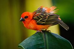 The red fody (Foudia madagascariensis), sometimes known as the Madagascar fody, red cardinal fody or common fody, is a small bird native to Madagascar.