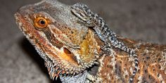 Breeding with Bearded dragons