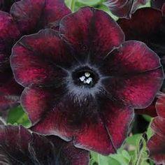 Petunia 'Black Cherry' - Van Meuwen Offers - Van Meuwen