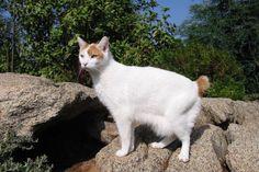 BOBTAIL JAPONÊS Gatos desta raça nascem com um rabo em tufo, como o de um coelho – alguns até mesmo pulam como coelhos, em vez de correr!