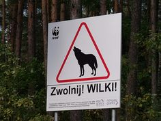 Slow down! wolves! Poland