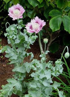 Opium poppies grow all over Seattle