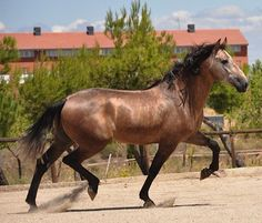 Horses for sale - Andalusian Horse Spain Breeding For sale Андалуз