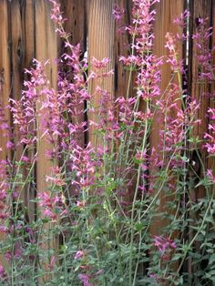 What do you think about Agastache?