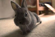 meet Evee the cutest little bunny ever! - meet Evee the cutest little bunny ever Animals For Kids, Cute Baby Animals, Animals And Pets, Funny Animals, Small Animals, Funny Bunnies, Baby Bunnies, Cute Bunny, Grey Bunny