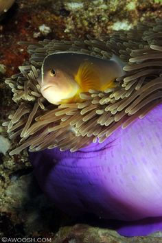Clownfish or anemonefish have a symbiotic mutualism with sea anemones
