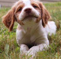 | brittany spaniel like my puppies... What a goofy little face he's making