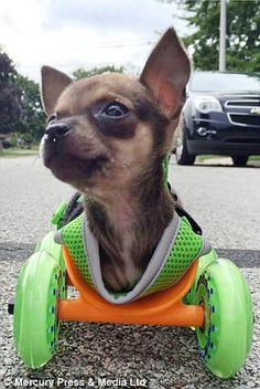 Chihuahua puppy Turbo-Roo was given up by his original owners after being born without front legs
