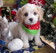 www.cavachonsbydesign.com Cavachon puppies for sale, Cavachon, Cavachons, Cavachon dog, Cavachon pups, Cavachon pup, Cavachons by Design