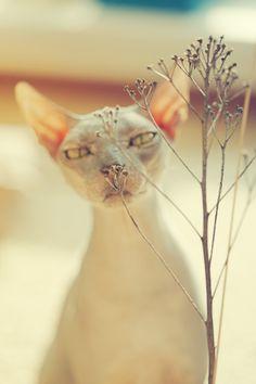 Sphynx Cat - look at those eyes!
