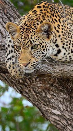 cheetah, predator, lying, big cat