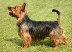 """Australian Terrier affectionately known as """"Aussie"""" is one of the smallest in the Terrier group. In general, it stands between 23 to 28 cm (9 - 11 inches) and typically weighs between 4 to 6 kg (9 - 14 lb)."""