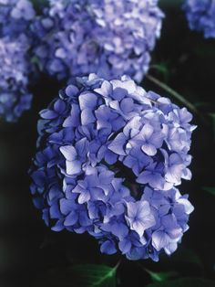 When and if to prune hydrangeas.