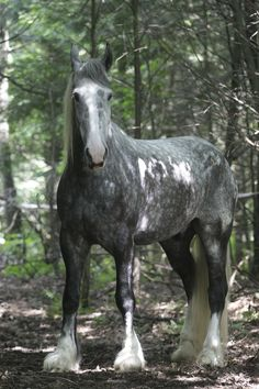 """Percheron - I first saw a young Percheron at the county fair.  When they turned slowly to look at me, the words """"have you ever seen a dream walking"""" came to mind.  Now I go every year to see them."""