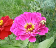 Bee resting on a Zinnia