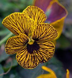 Amor-perfeito listrado amarelo.  Fotografia: Daniel Ruyle no Flickr.