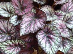 Begonia foliage - sage/eggplant