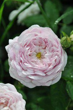 """Ana Rosa - paulacorrea1: """"Roses """""""