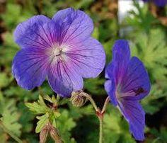 Imagini pentru geranium himalayense