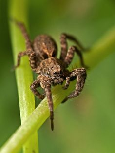 wolf spiders typically live on the ground and do not make webs rh pinterest com