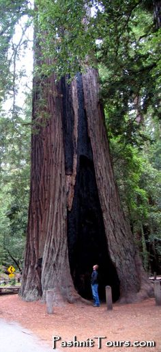 Perspective. Franchot Tone checks out a Giant Redwood in Big Basin SP. #pashnit