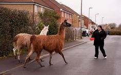 A bemused householder tries to coax two escaped llamas with a bowl of cat food on a street in Henstridge, Somerset.In the end the owners were summoned to the scene and they rounded the pair up.The duo are family pets at a nearby property but had manage to escape by eating their way through the hedge surrounding their enclosure.  Picture: Tony Collins/BNPS