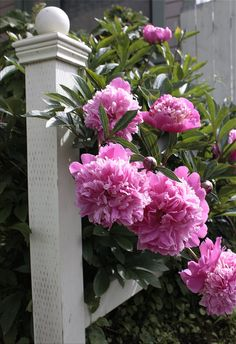 My favorite! Peonies!