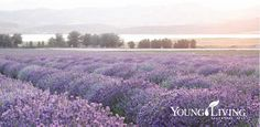 Young Living Lavender Farm in Utah Young Living Farms, Young Living Oils, Yl Essential Oils, Young Living Essential Oils, Young Living Lavender, Herb Farm, Organic Herbs, Healthy Lifestyle Tips, Lavender Fields