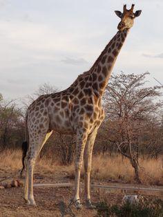 Giraffe @ the waterhole @ Klein Sambane, Xombana situated in Dinokeng