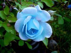Natural Blue Flowers | Recent Photos The Commons Getty Collection Galleries World Map App ...