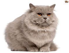 Longhaired cat breeds - Ten of the most popular | Pets4Homes