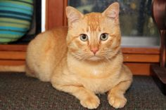 ADOPTED!!! Pumpkin aka TOMMY <3 Tabby - Orange • Young • Male • Lg. Greyfoot Cat Rescue Ventura, CA. Sweet, gentle Tommy is a rescued Leukemia Positive cat.  If he is kept indoors in a healthy environment, he could live into old age.  Greyfoot is seeking a home for him w/ another positive cat or cat loving DOG.   For more information please call Joan at 805 649-2844! <3  Thank You!