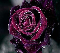 Trblietava ruža
