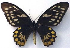ORNITHOPTERA CROESUS HELIOS - female (wingspan: 165 mm) (loc.: Kasiruta Is.) (coll. and photo: ©William Garthe, Peru, IL, USA)  HOLOTYPE