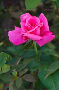 Realistic Graphic DOWNLOAD (.ai, .psd) :: http://vector-graphic.de/pinterest-itmid-1006669202i.html ... rose flower ...  bloom, blooming, blossom, bud, color, field, flora, floral, flower, fresh, garden, green, leaves, nature, park, petal, pink, plant, rose, rosy, spring  ... Realistic Photo Graphic Print Obejct Business Web Elements Illustration Design Templates ... DOWNLOAD :: http://vector-graphic.de/pinterest-itmid-1006669202i.html