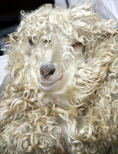 Beautiful Angora Goat just before sheering. Perfect for my dream acreage.
