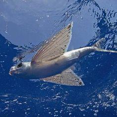 A #flyingfish.