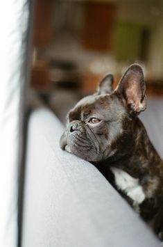 handsome dogs // french bulldog puppy by @pamlau