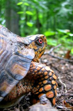 Gardeners can play a role in nurturing box turtles.