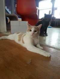 Toby - Domestic Short Hair - buff and white