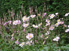 Marjan's belevenissen in huis en tuin.: 100903. Japanse anemoon en Persicaria vacciniifolia