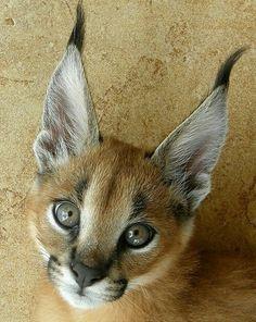 猫!?------ Is this a Lynx? Caracal Caracal, Caracal Kittens, Serval Cats, Cats And Kittens, Small Wild Cats, Big Cats, Cool Cats, African Cats, African Animals