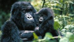 gorillas with babies | Endangered Gorillas Become Dinner for Rebels in the Congo
