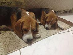 love, love, love all beagles